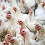 40.000 kippen omgekomen bij brand in Swifterbant, Flevoland