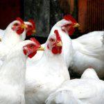 Twee branden op kippenboerderij in een jaar tijd: 110.000 dode kippen